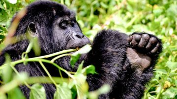 WHY YOU SHOULD DO GORILLA HABITUATION IN 2019