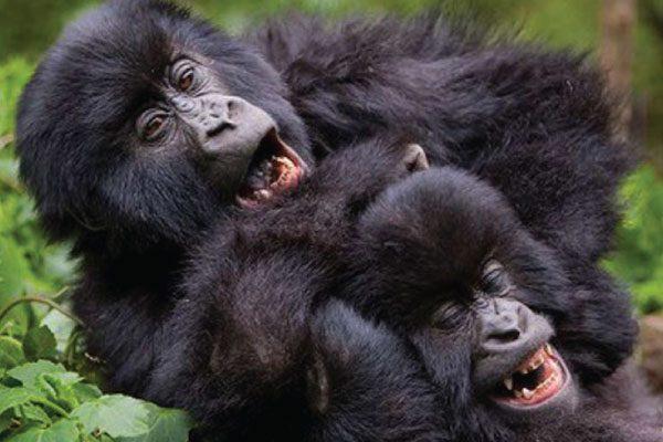 gorilla-experience