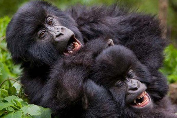 playful_gorillas