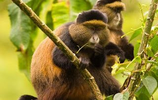 Facts about Golden Monkeys